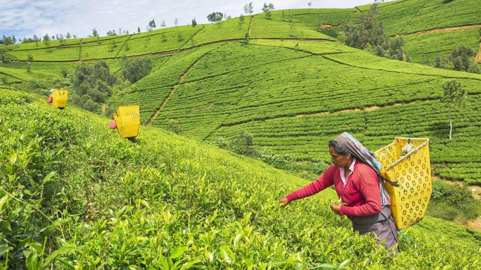 Sri Lanka nuwara eliya tunart