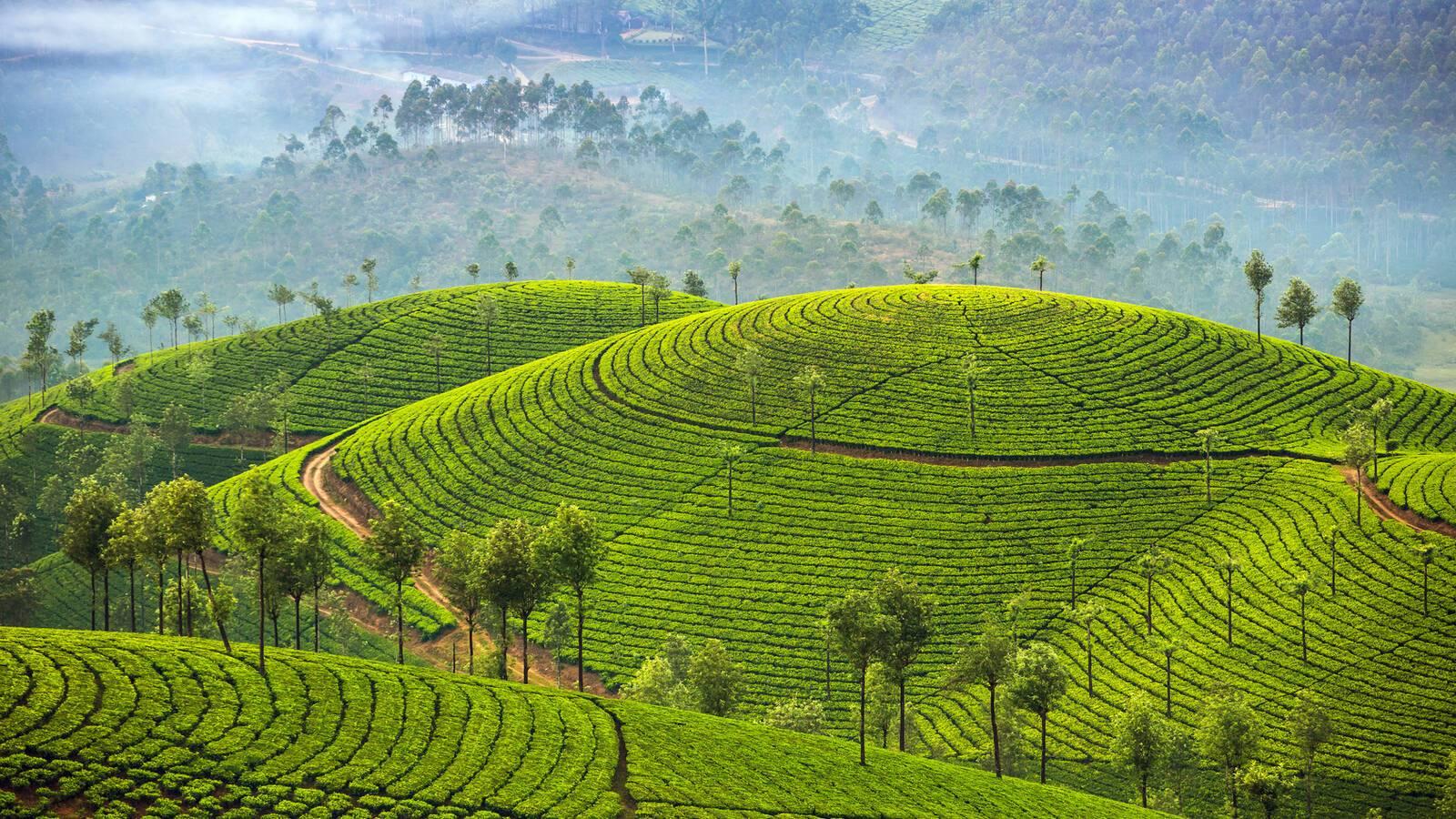 Munnar Kerala Plantation The Inde Alexander