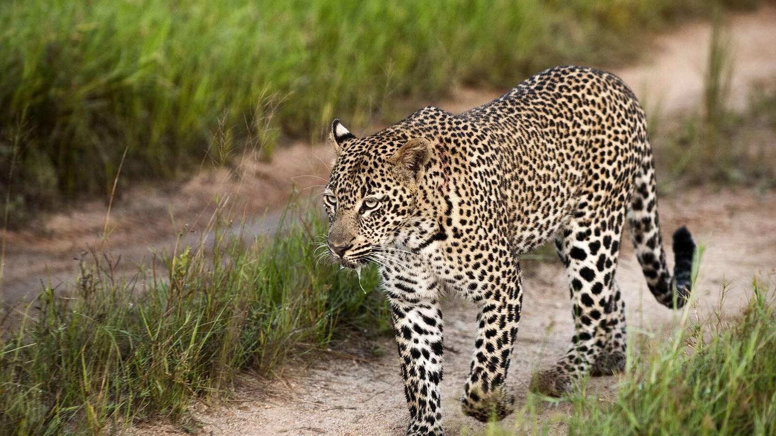 Afrique sud safari leopard