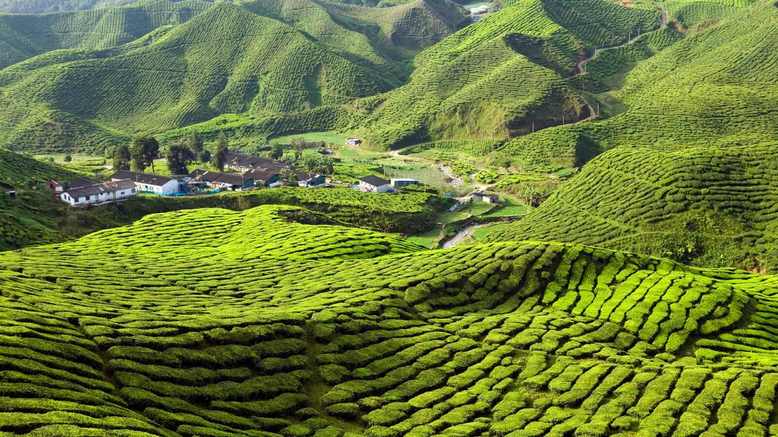 Cameron Highlands Malaisie kevin miller