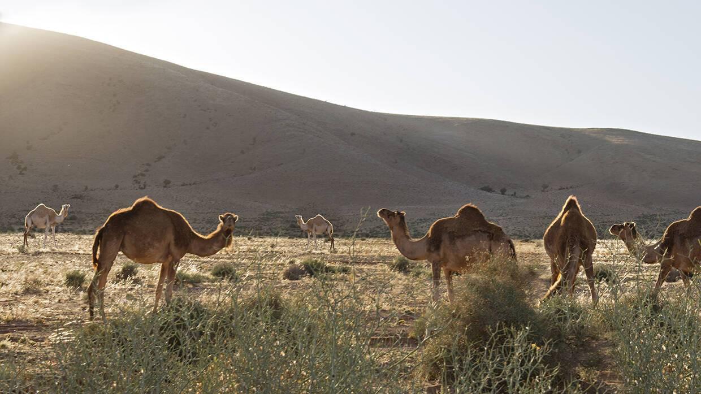 Maison Oasis Tighmert Sud Maroc Chameaux