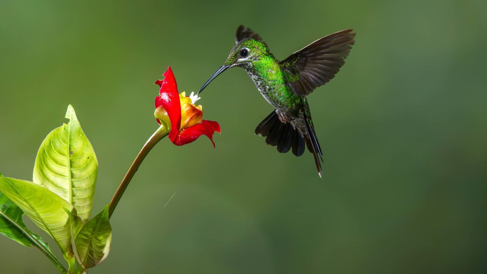 Costa Rica Colibri Macs