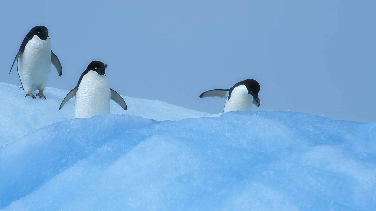 Ponant Croisiere Antarctique Manchot Adelie Paulet Island StudioPo