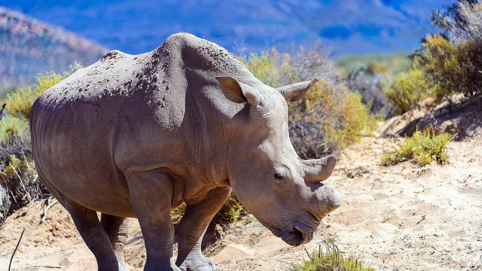 Afrique du Sud Rhinoceros