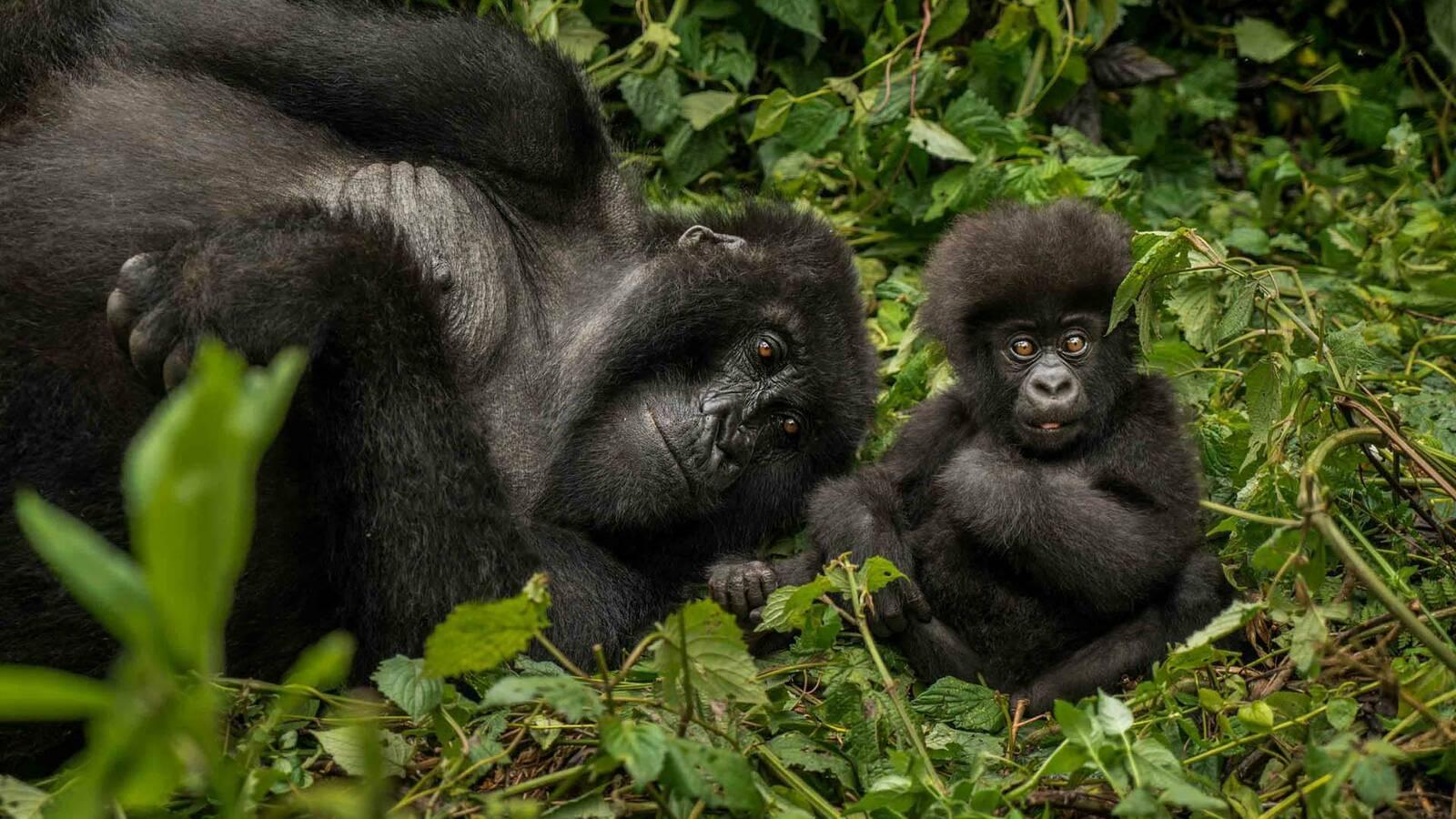 Circuit de Luxe au Rwanda, signé One&Only : à la rencontre des Gorilles, du  parc des Volcans & à Nyungwe - Privilèges Voyages
