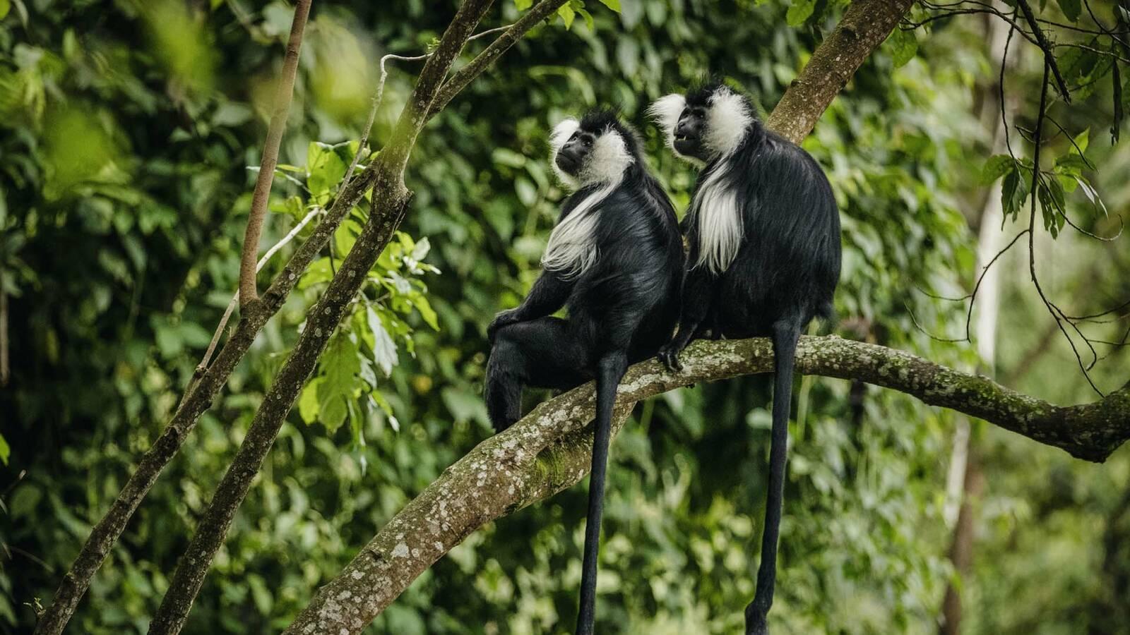 Rwanda OneandOnly NyungweHouse_Colobus_Monkey