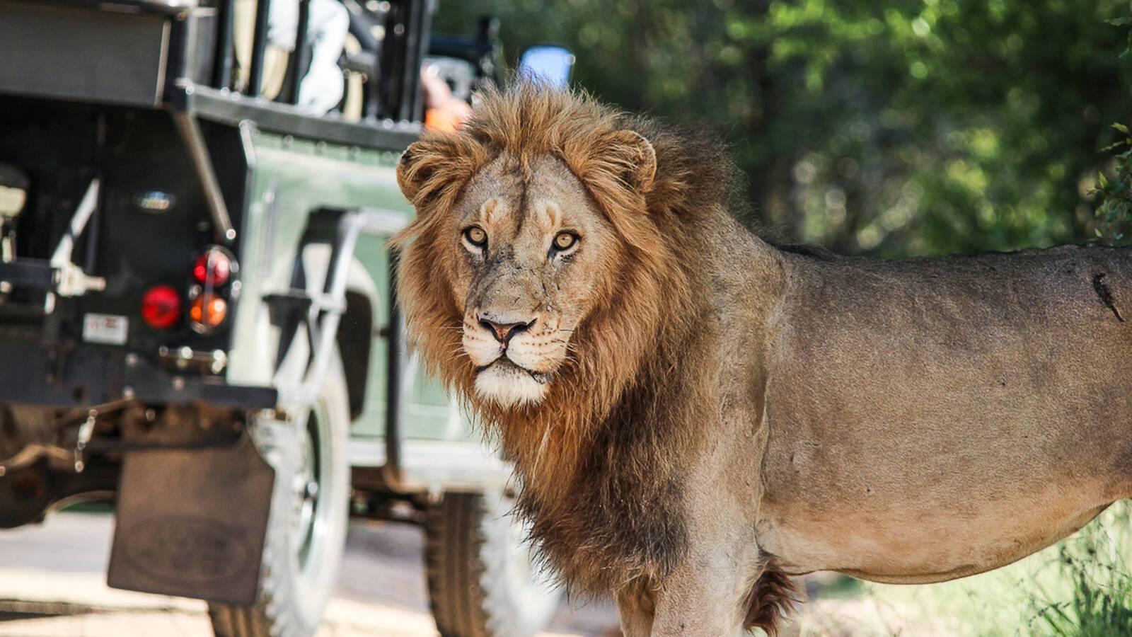 Sabi Sabi Bush Lodge Afrique du Sud Lion