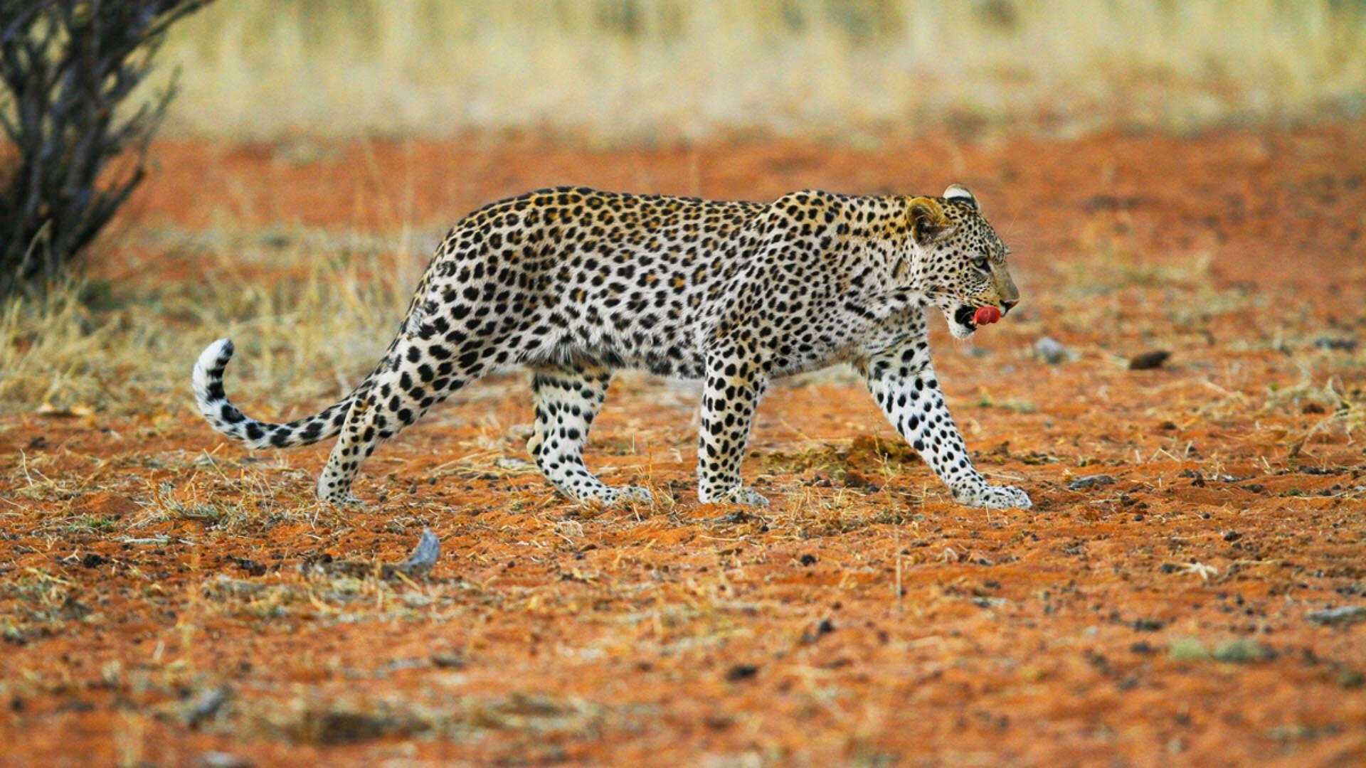 Tswalu Reserve Afrique Sud Leopard