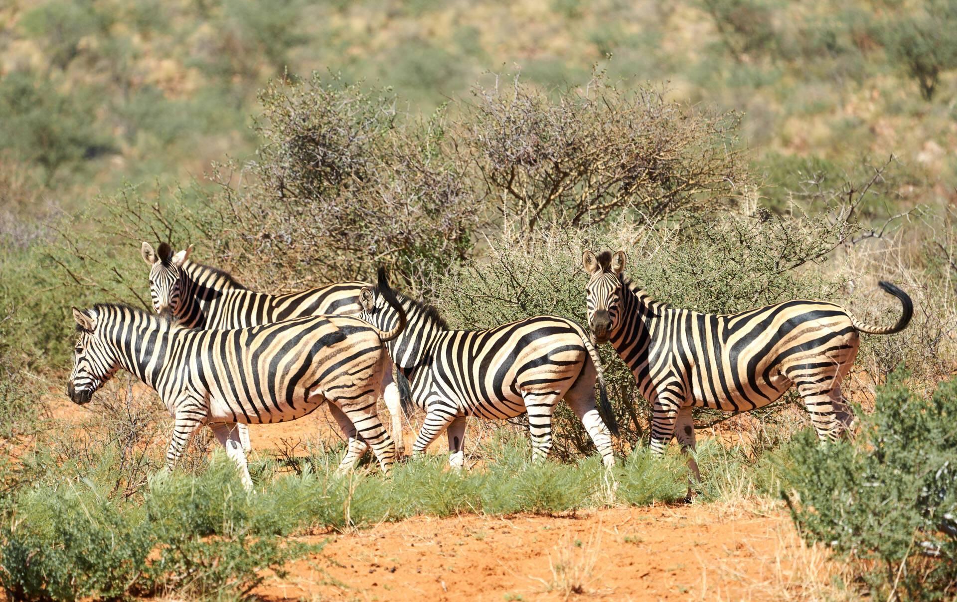 Tswalu Reserve Afrique Sud Zebres