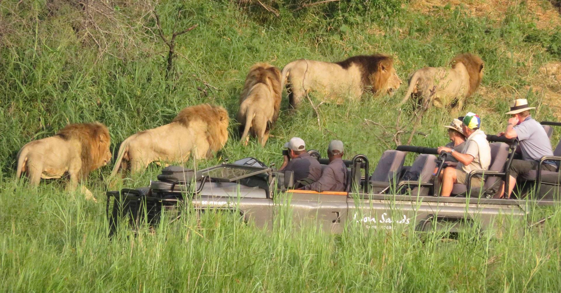 Afrique Sud Lion Sands Safari Lions