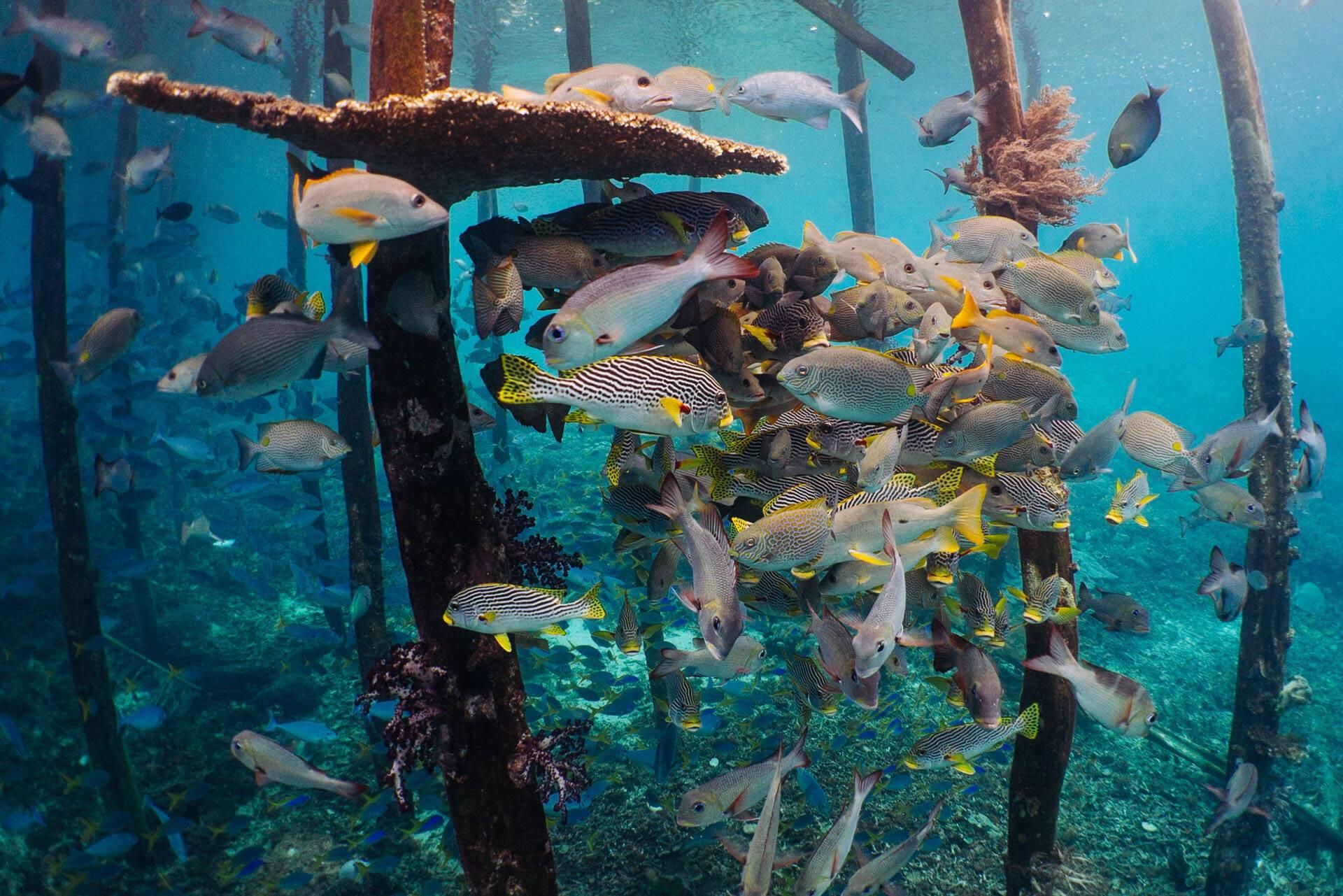 Tiger Blue Komodo Indonesie Plongee