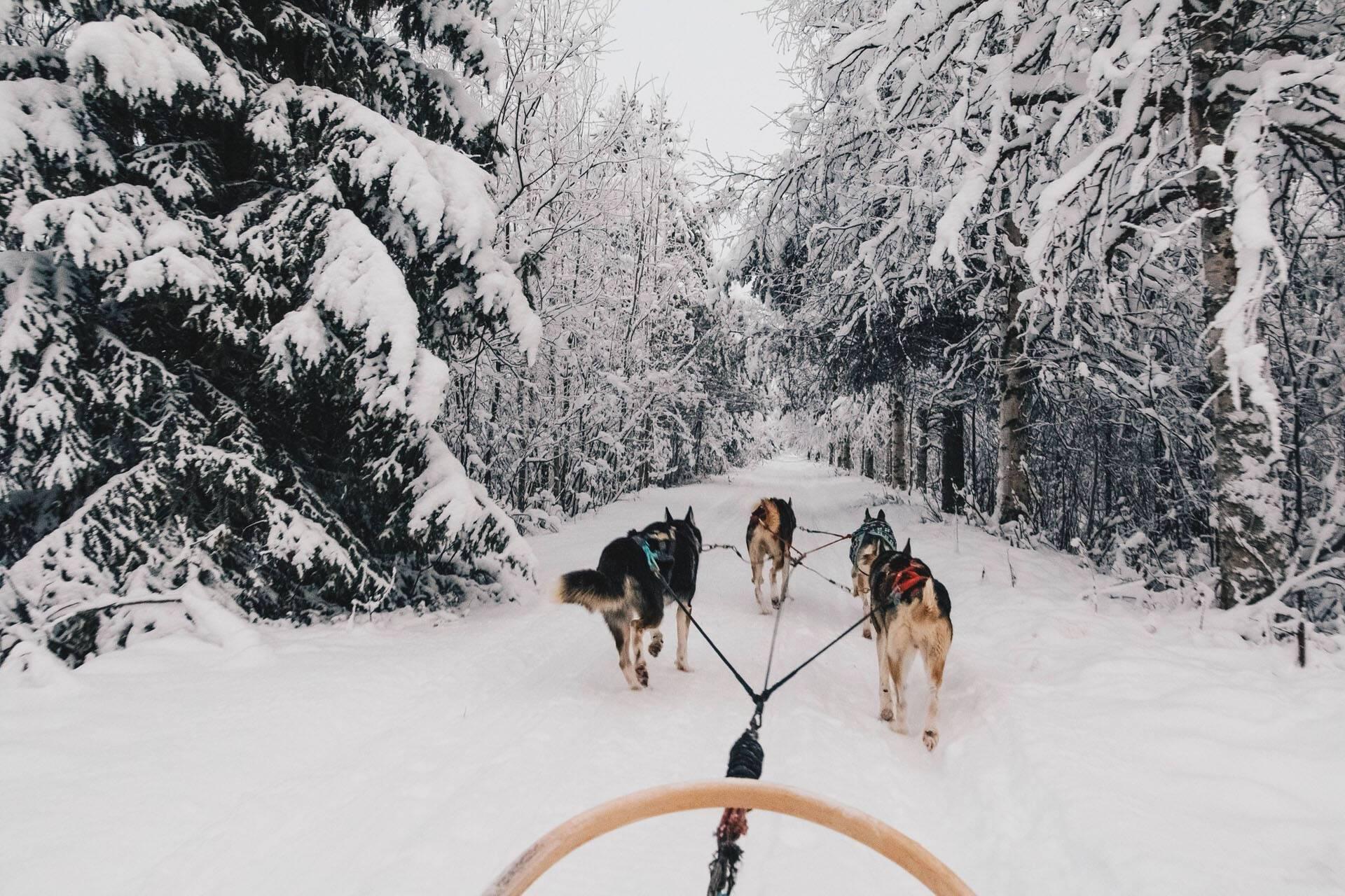 Apukka Resort Rovaniemi Finlande Husky