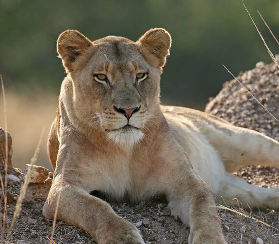 Tanzanie Lion