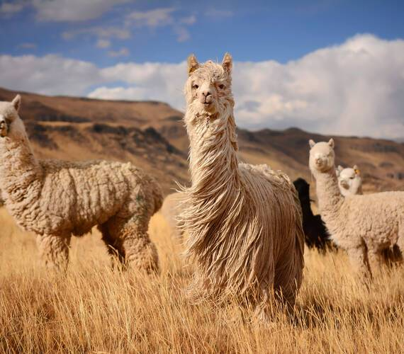 Lamas Montagne Nature Perou Pavel Svoboda