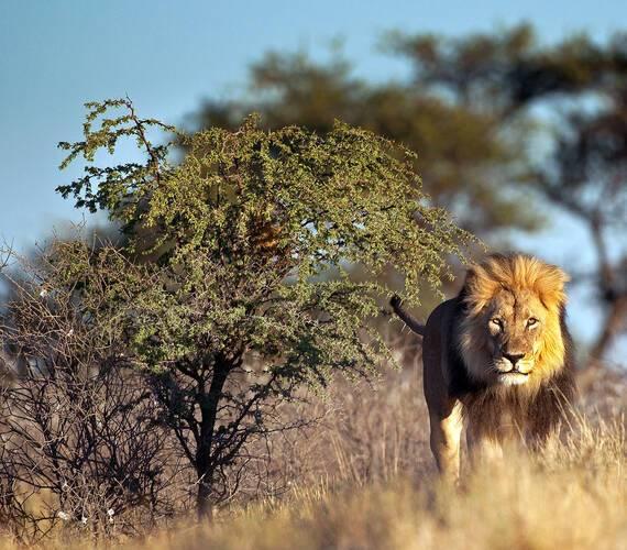 Afrique du Sud Lion