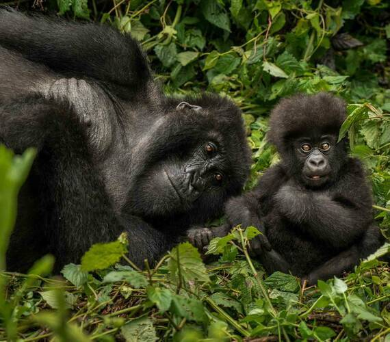 Rwanda OneandOnly GorillaNest Gorilles