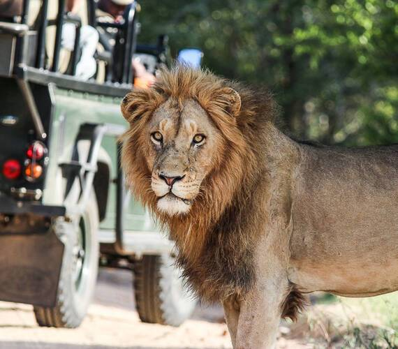 Sabi Sabi Bush Lodge Afrique du Sud Lion